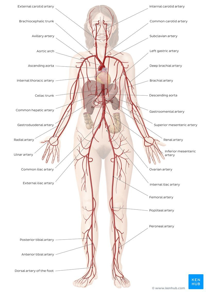 Anatomy Labeling Worksheets Cardiovascular System Diagrams Quizzes Free Worksheets