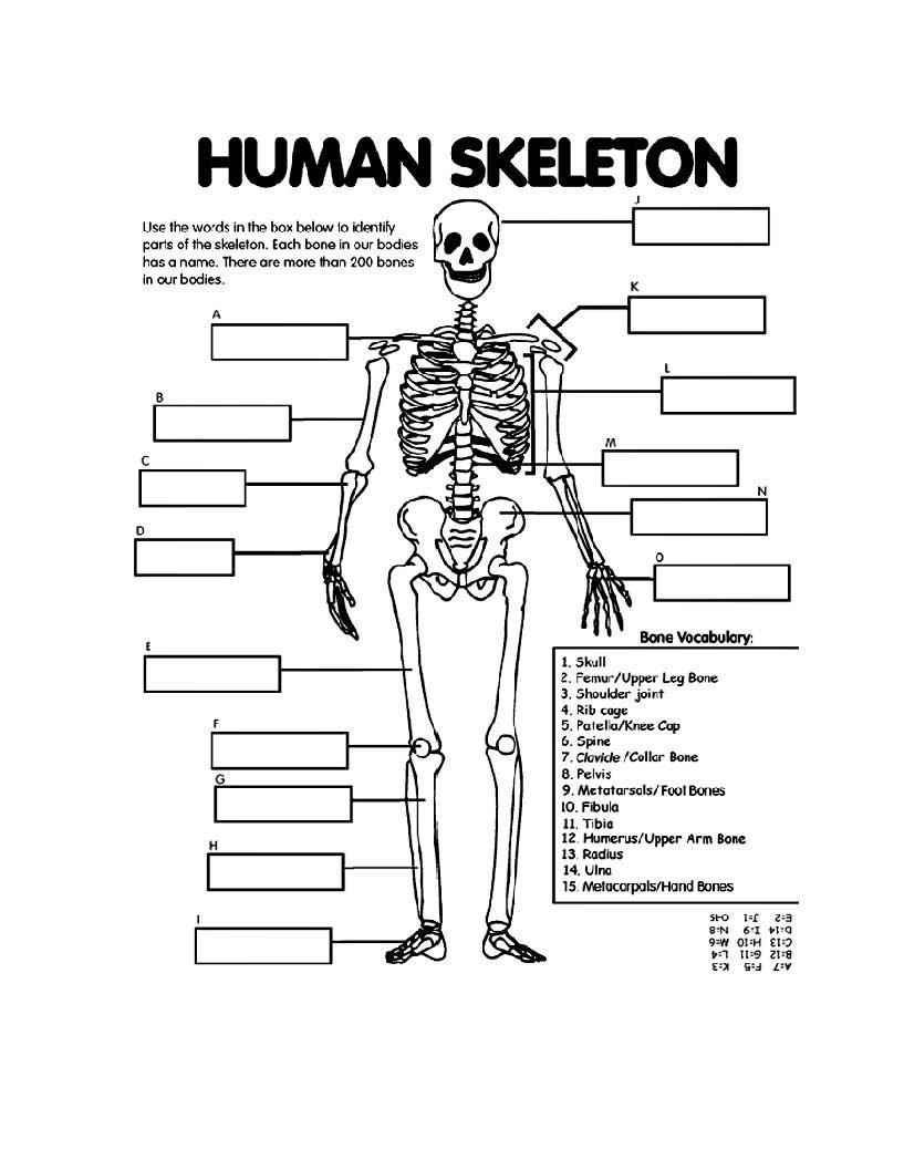 Blank Bone Worksheets Coloring Book Extraordinary Free Printable Anatomy