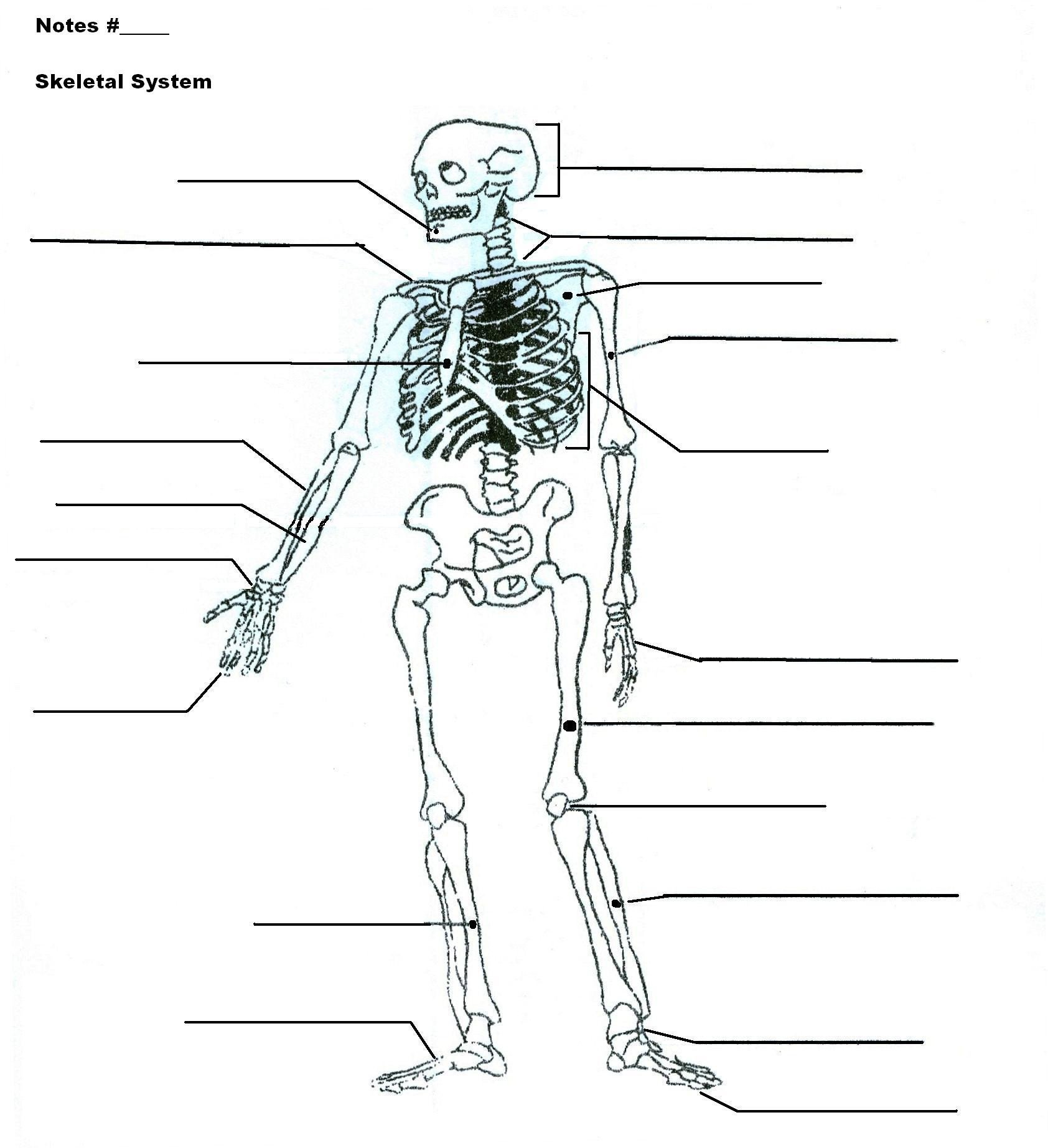 Blank Bone Worksheets Fill In the Blank Skeleton Worksheet
