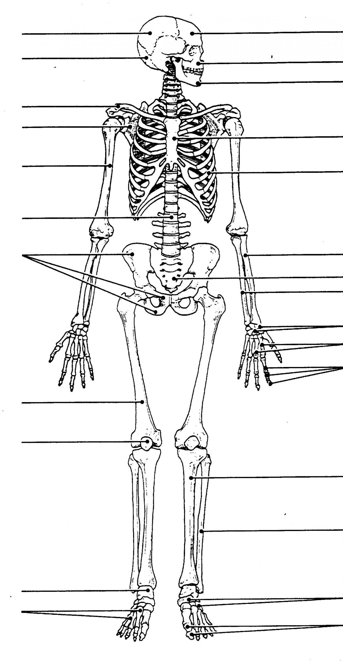 Blank Bone Worksheets Human Skeleton Diagram Unlabeled Human Skeleton Diagram