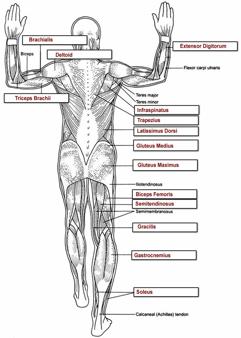 Blank Bone Worksheets Muscles Labeling Full Body Anatomy Worksheets Overall Label2