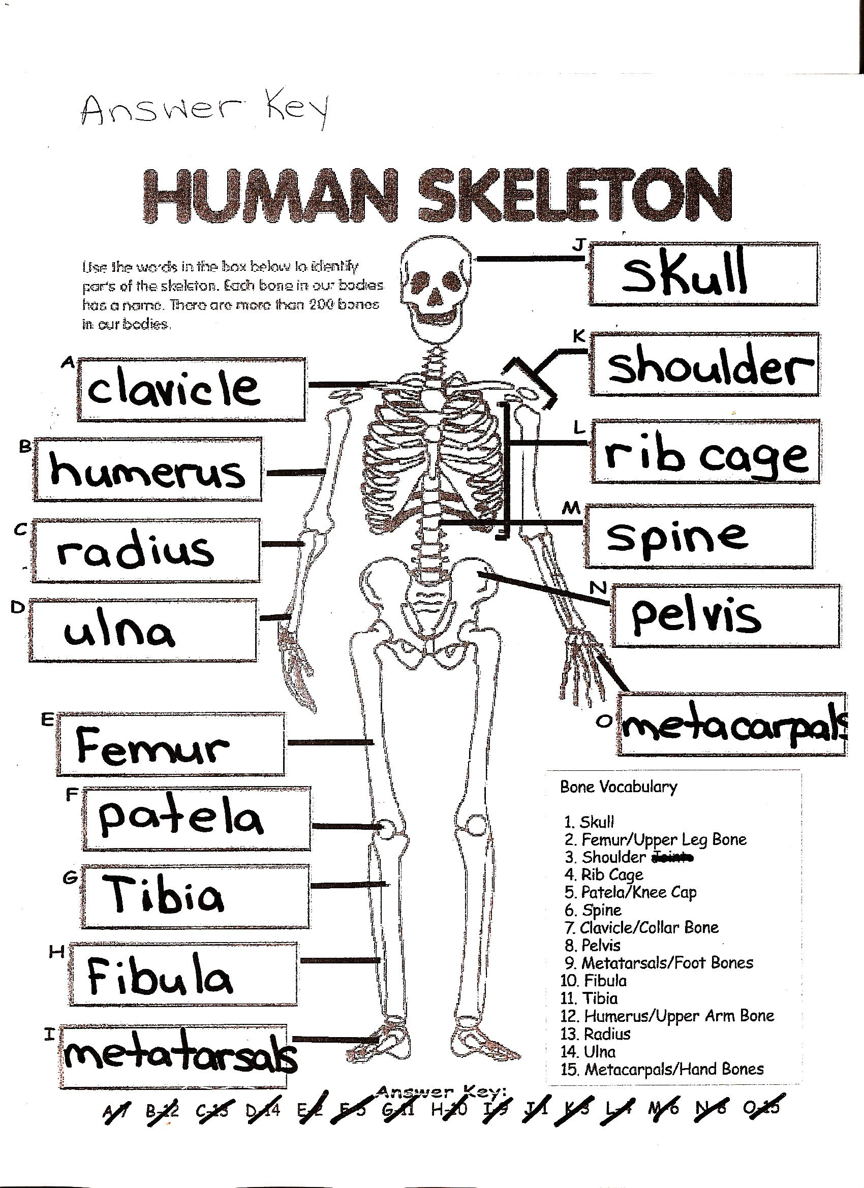 Blank Bone Worksheets Three Skeleton Key Worksheets