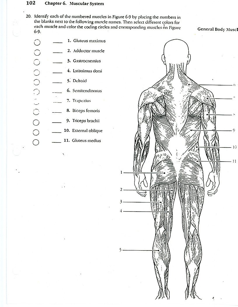 Blank Muscle Diagram Worksheet Back 20muscle 20coloring Anatomyg Pages Muscles Sheet Quotes