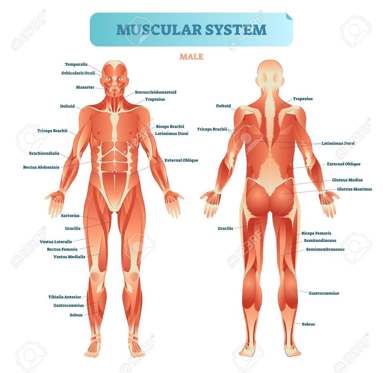 male muscular system full anatomical body diagram with muscle