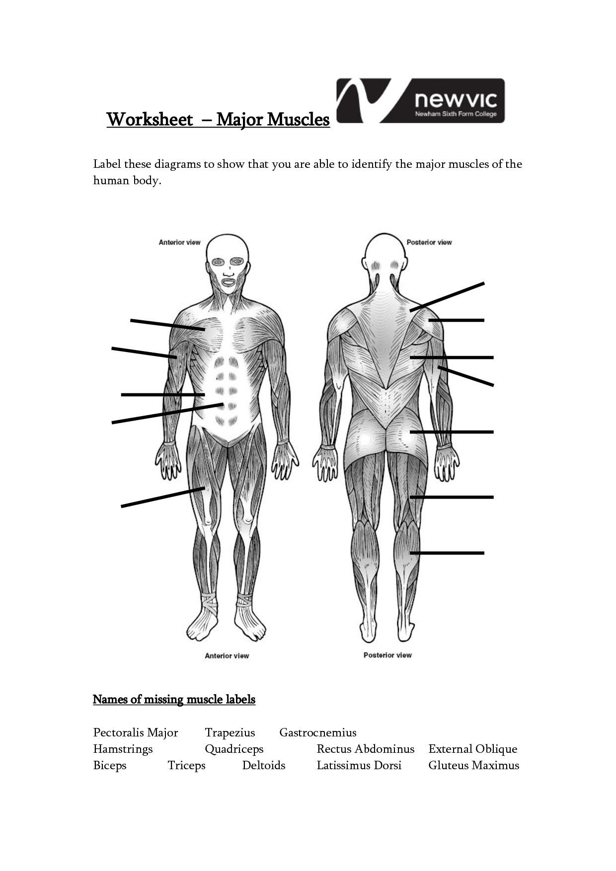 Blank Muscle Diagram Worksheet Human Muscle Worksheet Label the Muscles Worksheet