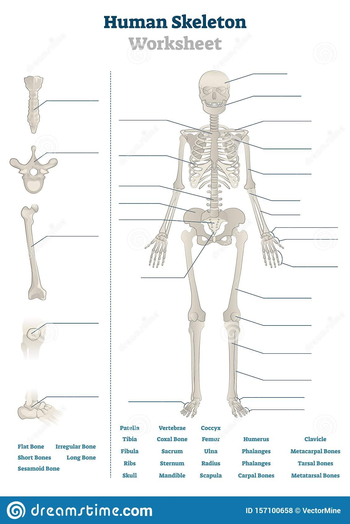 human skeleton worksheet vector illustration blank educational bone scheme bones inner skeletal system practice lessons task