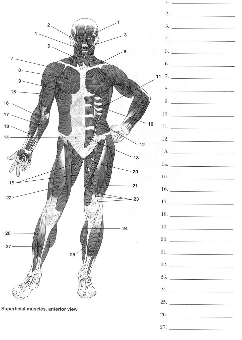 Blank Muscle Diagram Worksheet Label Muscles Worksheet