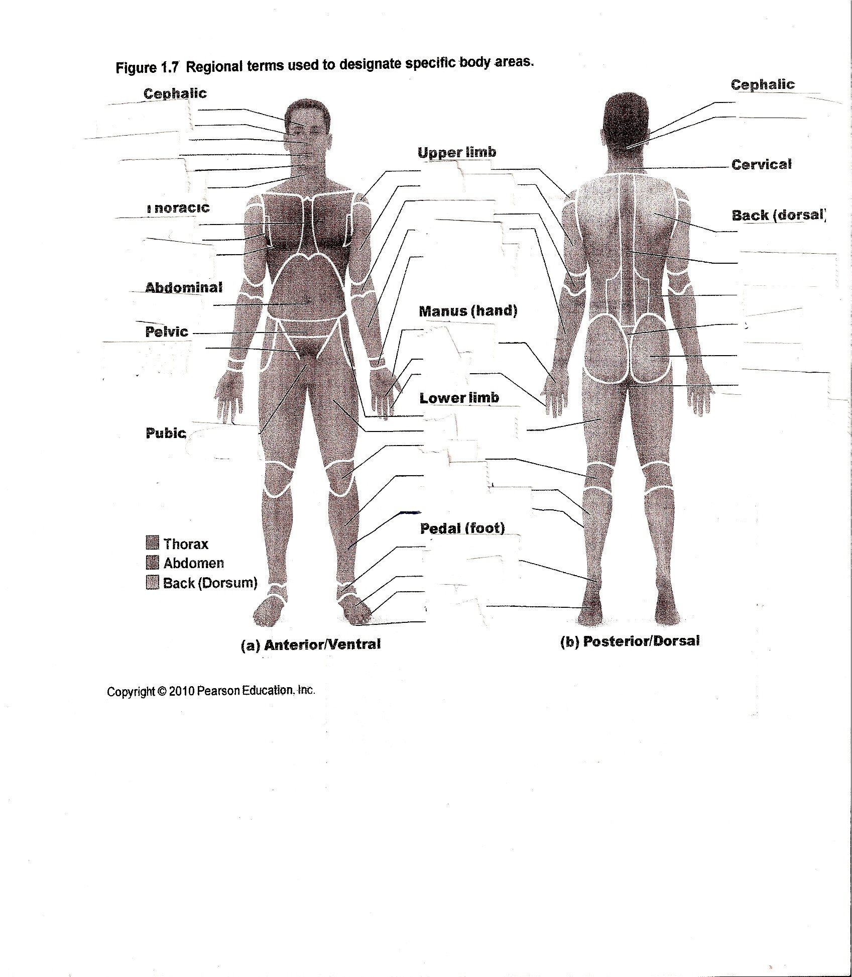 muscle worksheets for anatomy 17