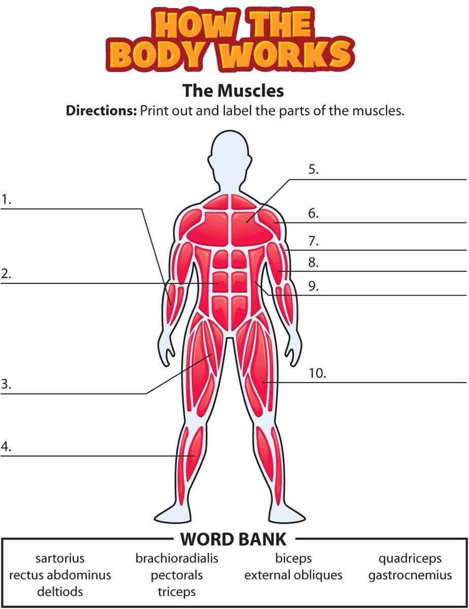 Blank Muscle Diagram Worksheet Muscle Diagram Blank Muscle Diagram Blank Blank Fill In