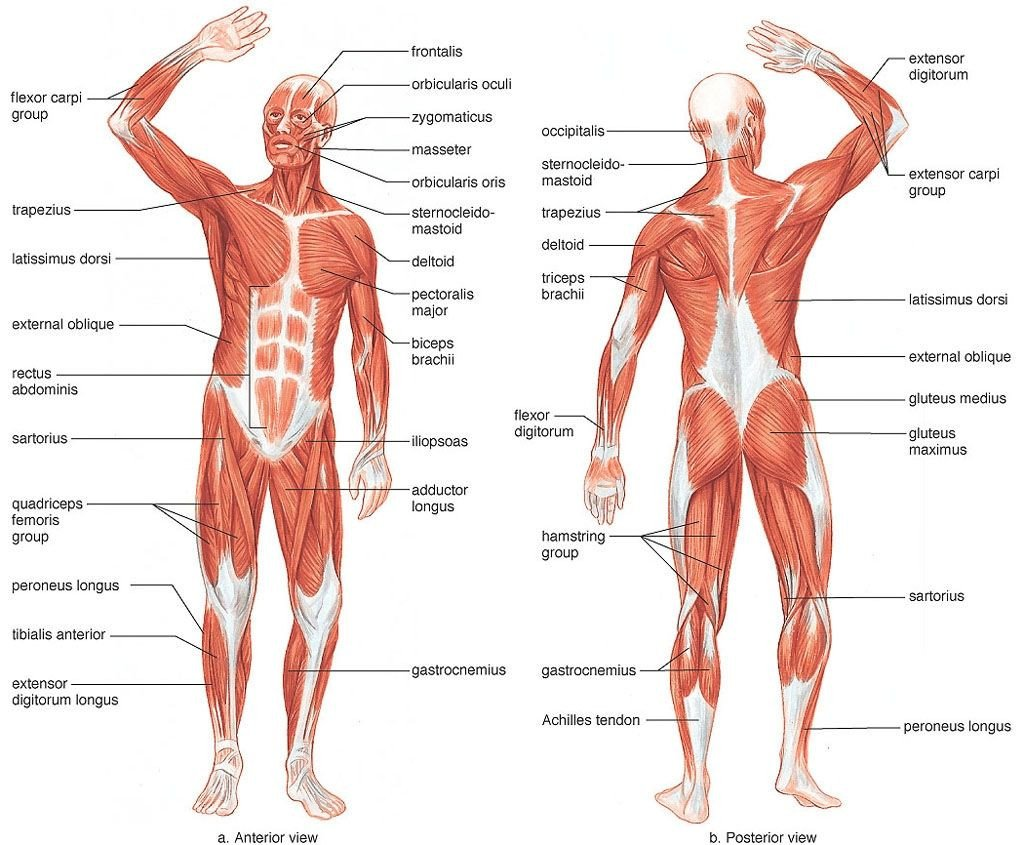 Blank Muscle Diagram Worksheet Muscles Of the Human Body Blank