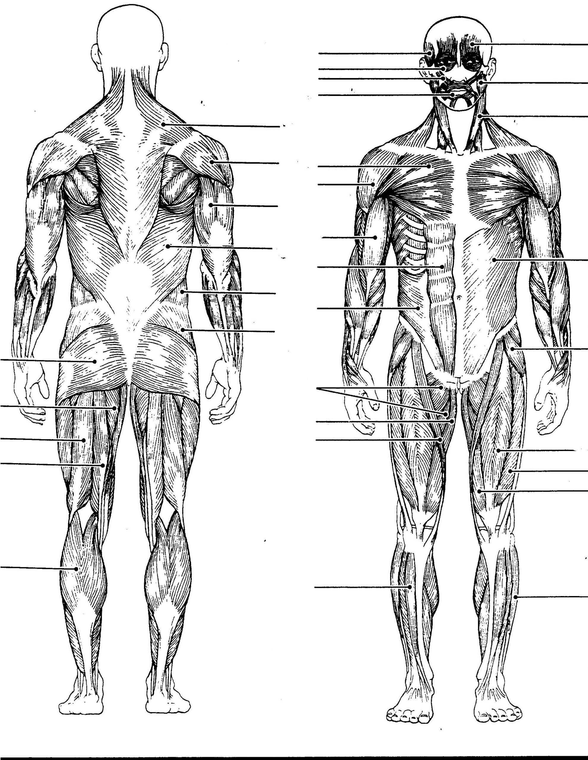 Blank Muscle Diagram Worksheet Muscular System Diagram Blank Muscular System Diagram with