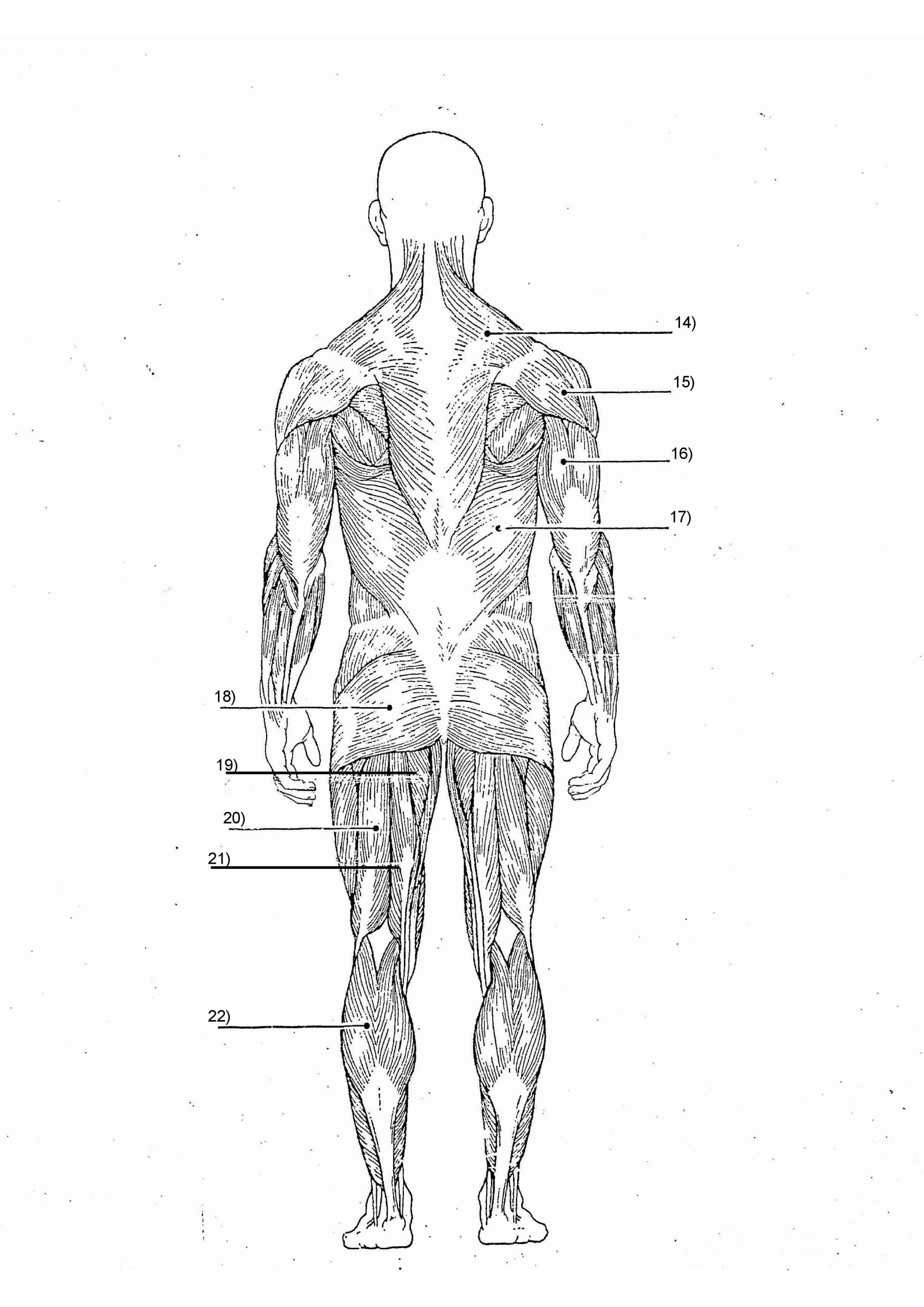 Blank Muscle Diagram Worksheet Muscular System Quiz