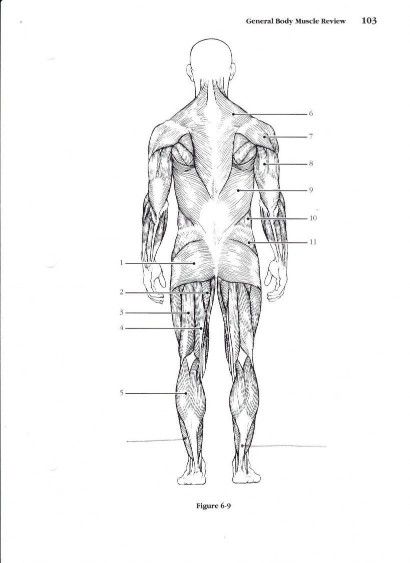 Blank Muscle Diagram Worksheet Muscular System Worksheet Lobo Black