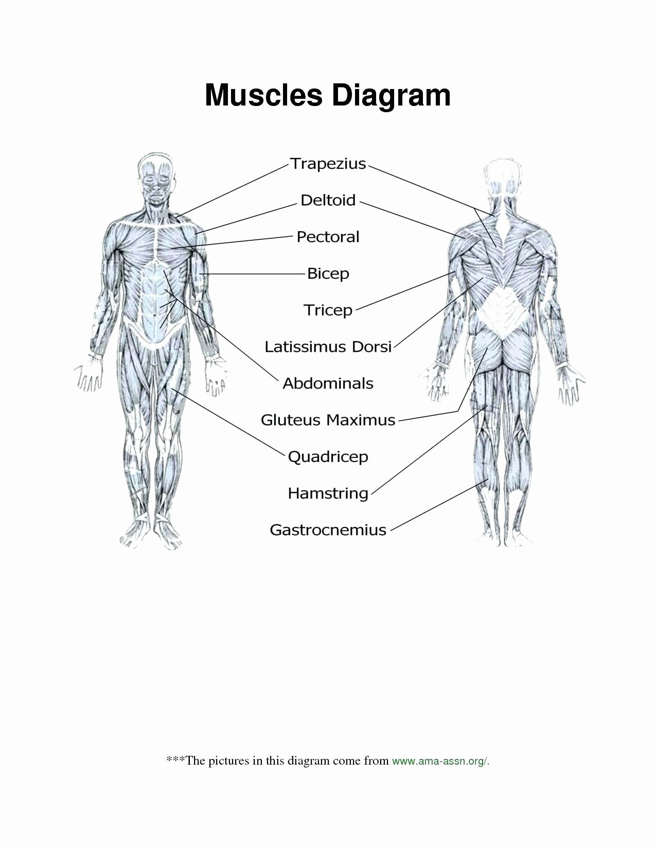 Blank Muscle Diagram Worksheet Skeletal System Worksheet Unlabeled