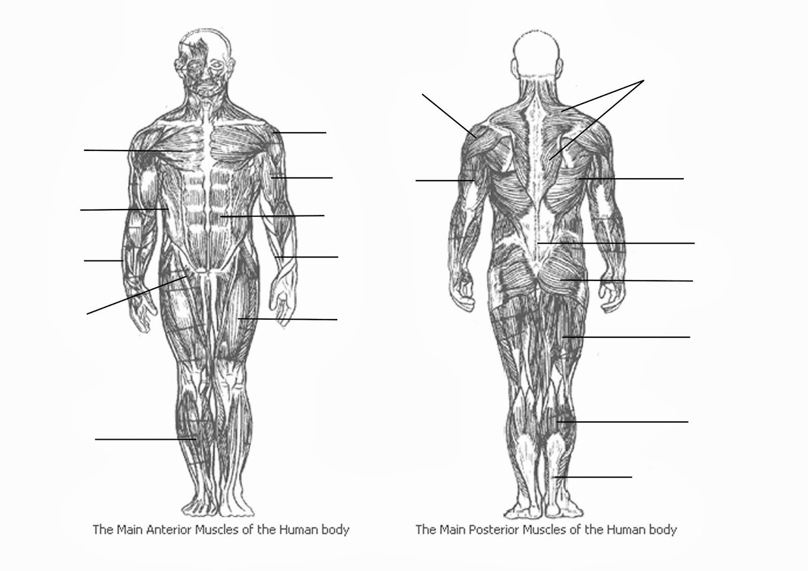 Blank Muscle Diagram Worksheet Teach Pe Muscles Worksheet