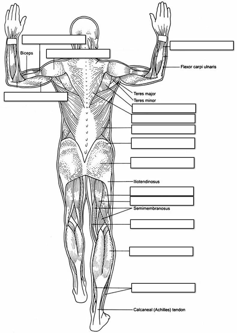 Blank Muscle Diagram Worksheet the Muscular System Coloring Pages Coloring Home