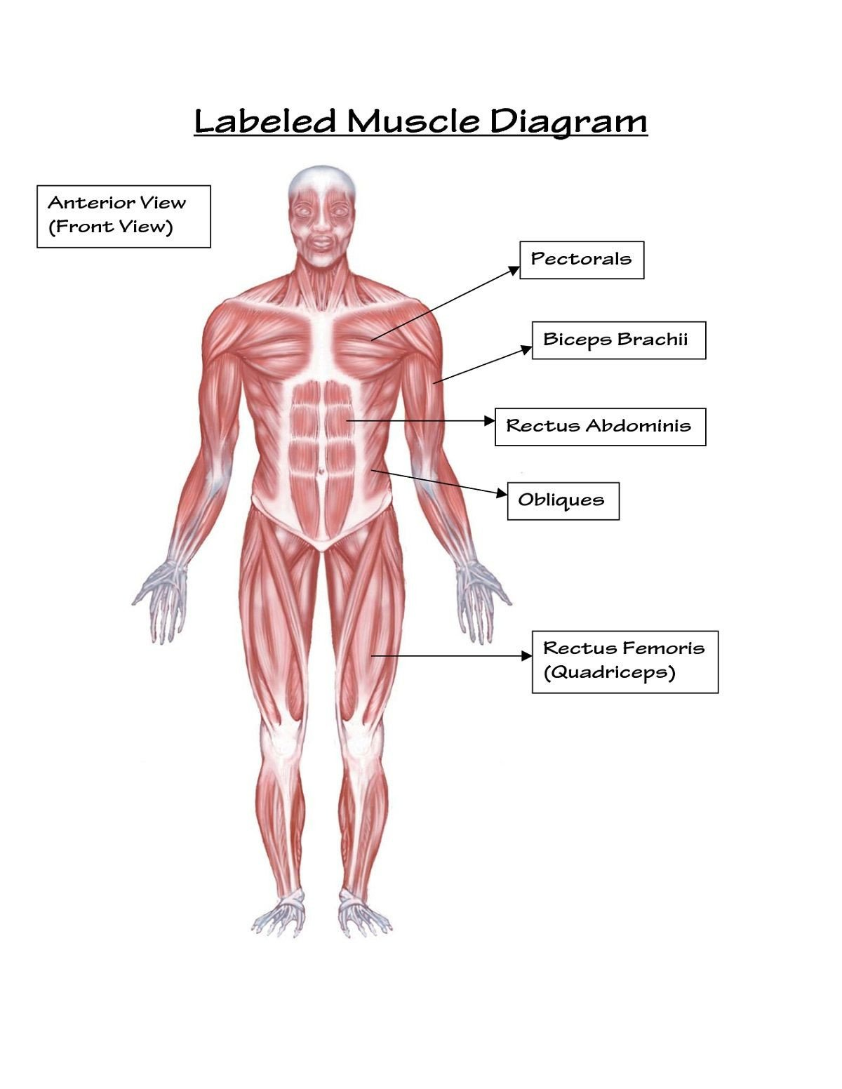 Blank Muscle Diagram Worksheet Unlabeled Muscles Worksheet