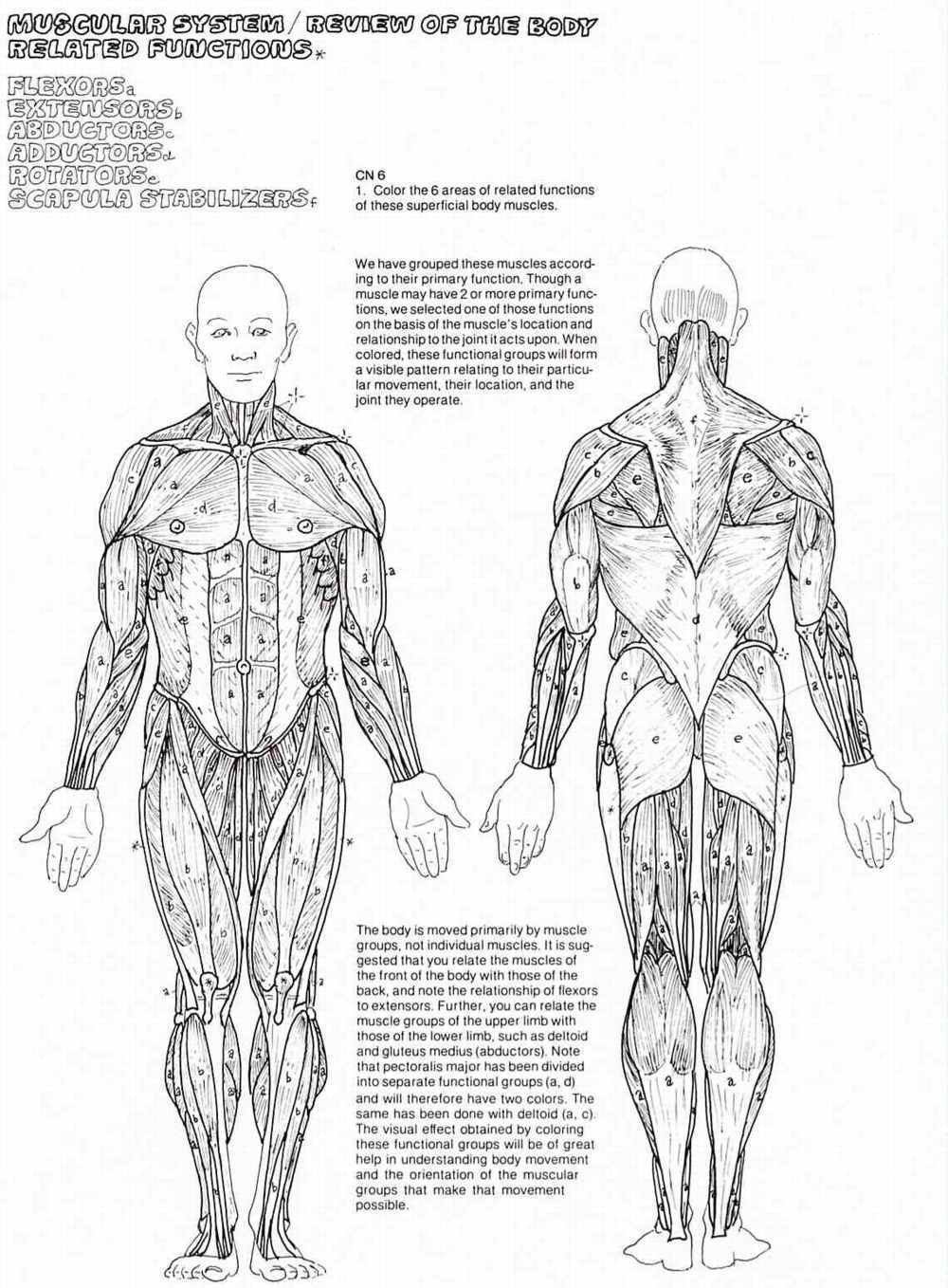 College Anatomy Worksheets 4tb4mbrjc Freerintable Anatomy Coloringages for Adults