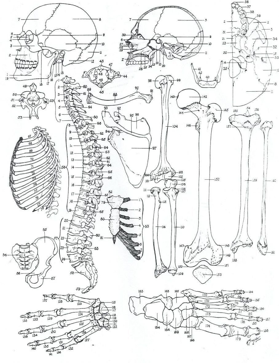 free printable anatomy worksheets coloringes for adults kids muscle