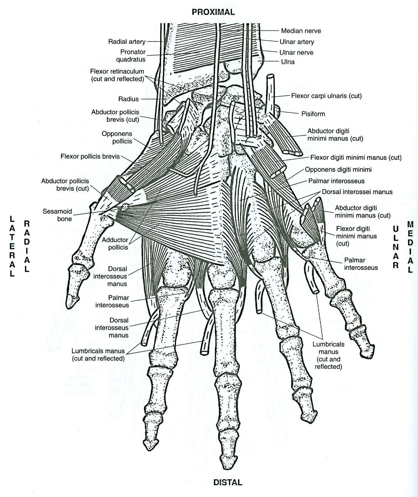 College Anatomy Worksheets Freerintable Anatomy Coloringagesicture Inspirations