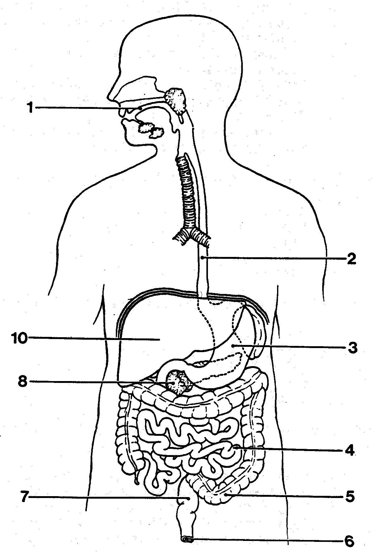 Digestive System Worksheets Middle School Best solutions Digestive System Worksheets Collections