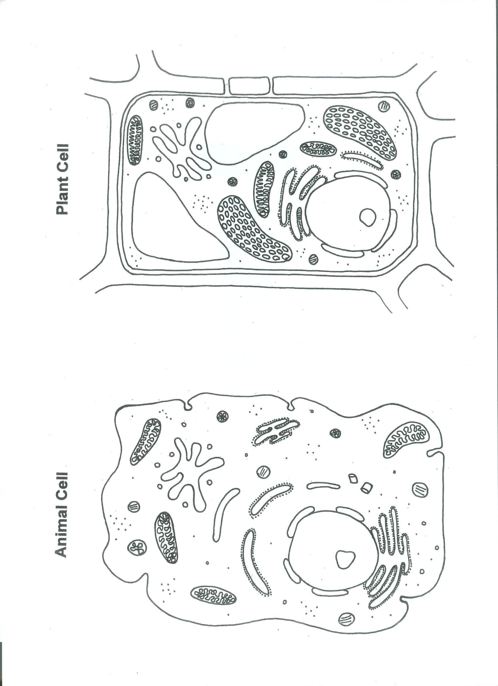 Elementary Cell Worksheets Shrinky Plant and Animal Cell Science Cells