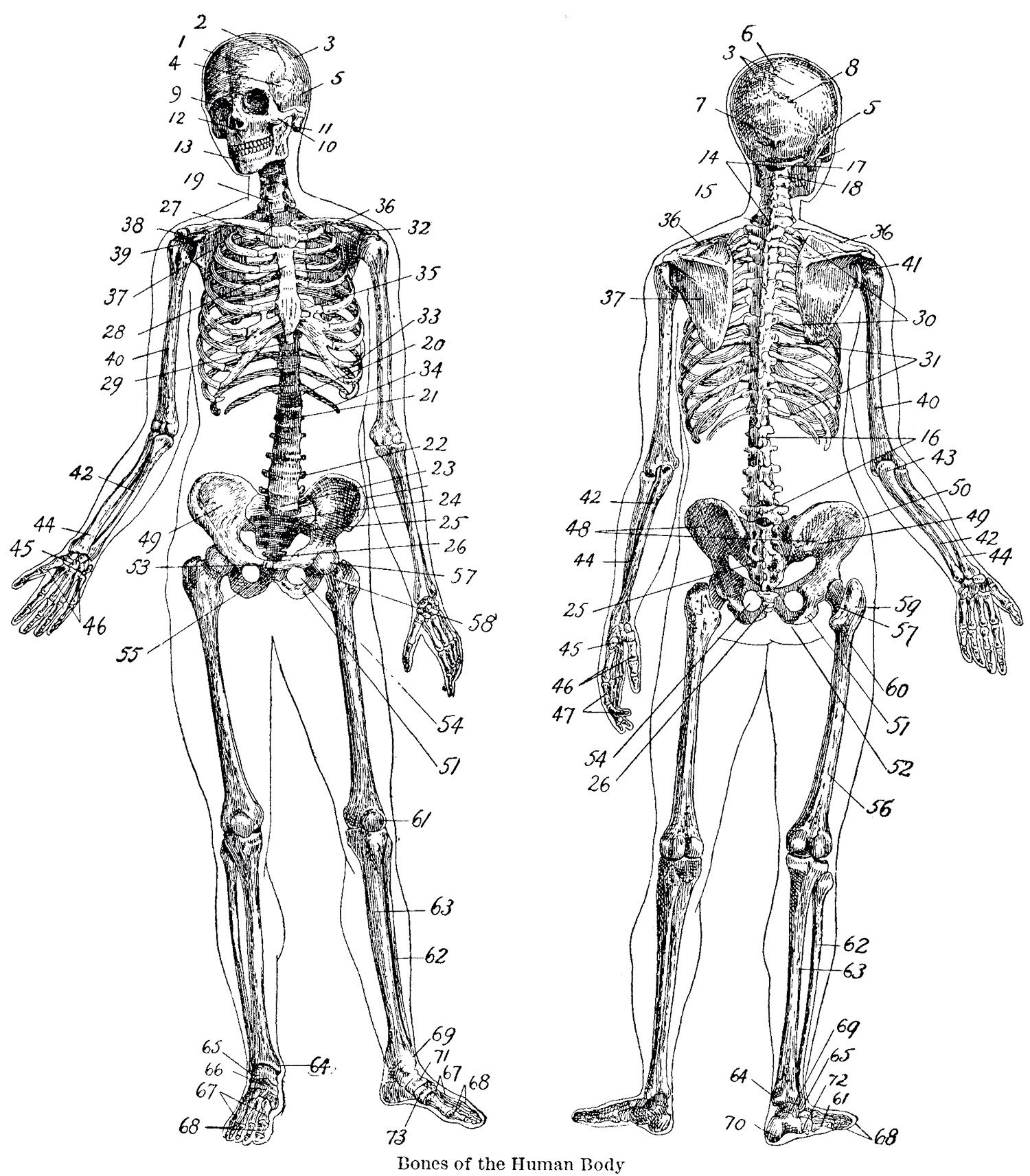 Free Printable Anatomy Worksheets 7 Vintage Anatomy Skeleton the Graphics Fairy