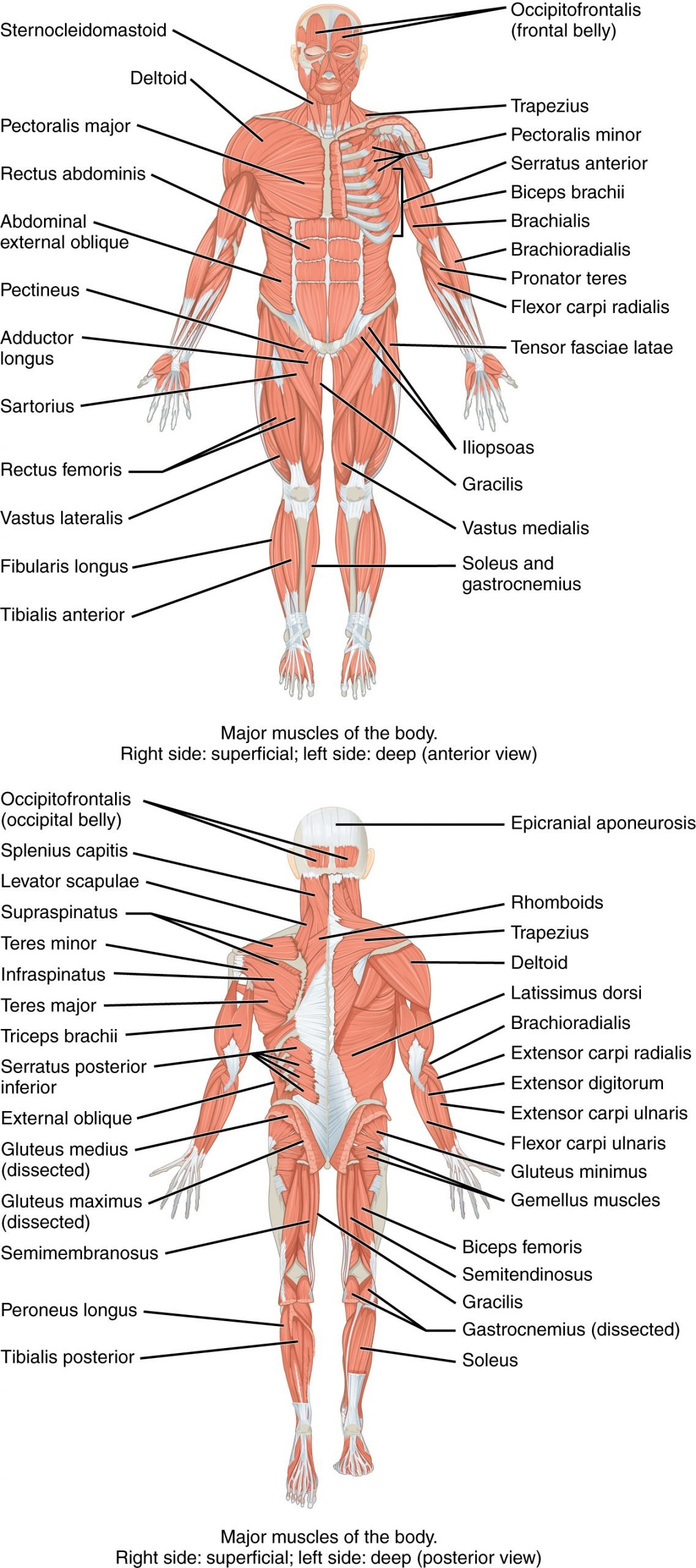 Human Anatomy Worksheets for College 11 2 Naming Skeletal Muscles Anatomy and Physiology