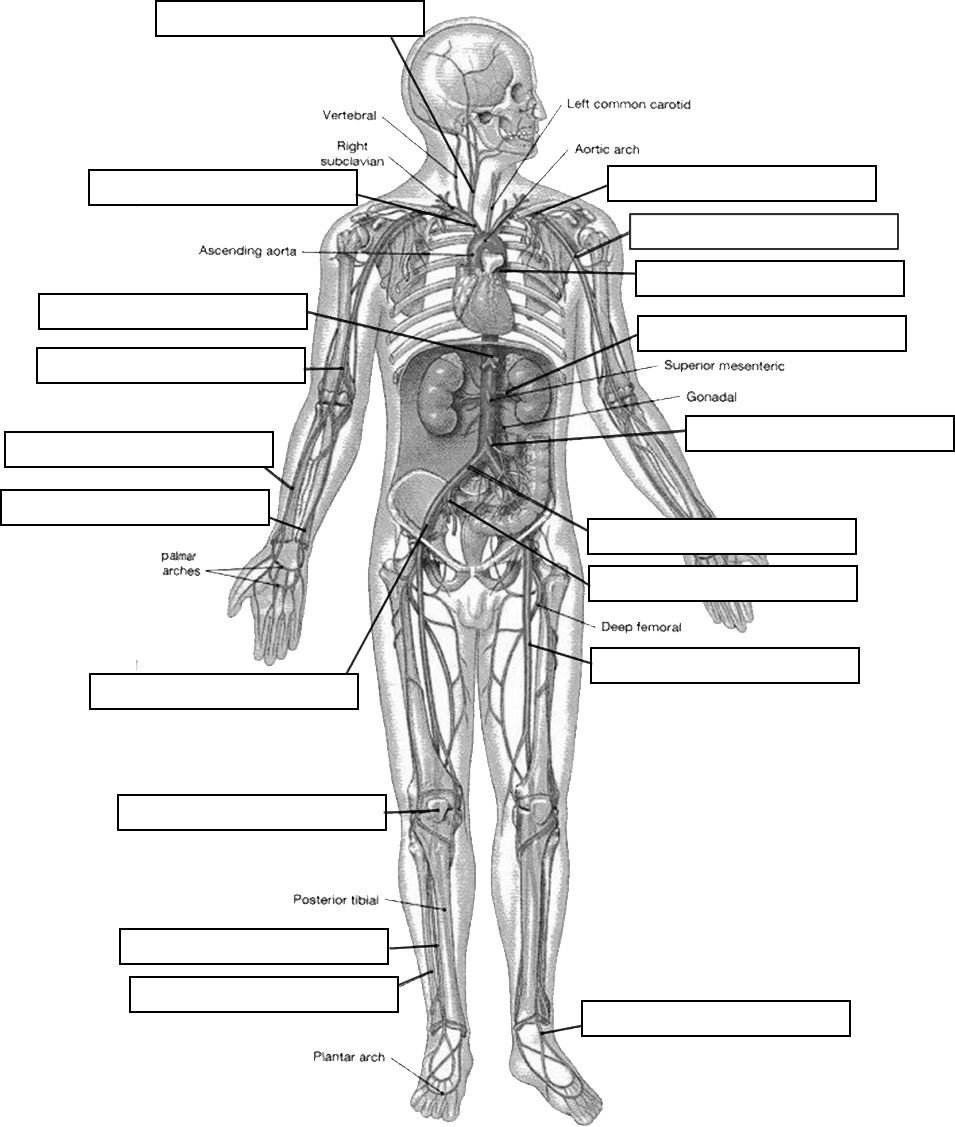 Human Anatomy Worksheets for College Circulatory System Diagram Worksheet Arteries Label Jpg
