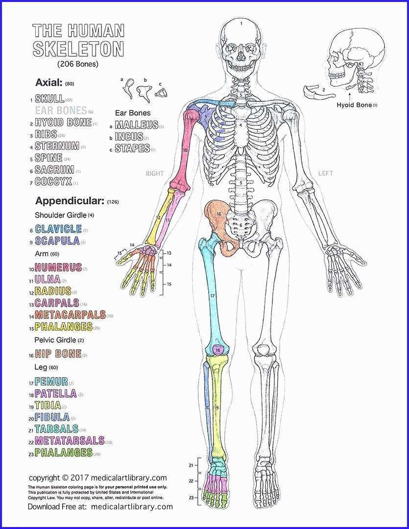 Human Anatomy Worksheets for College Free Anatomy Coloring Pages for College Studentsable