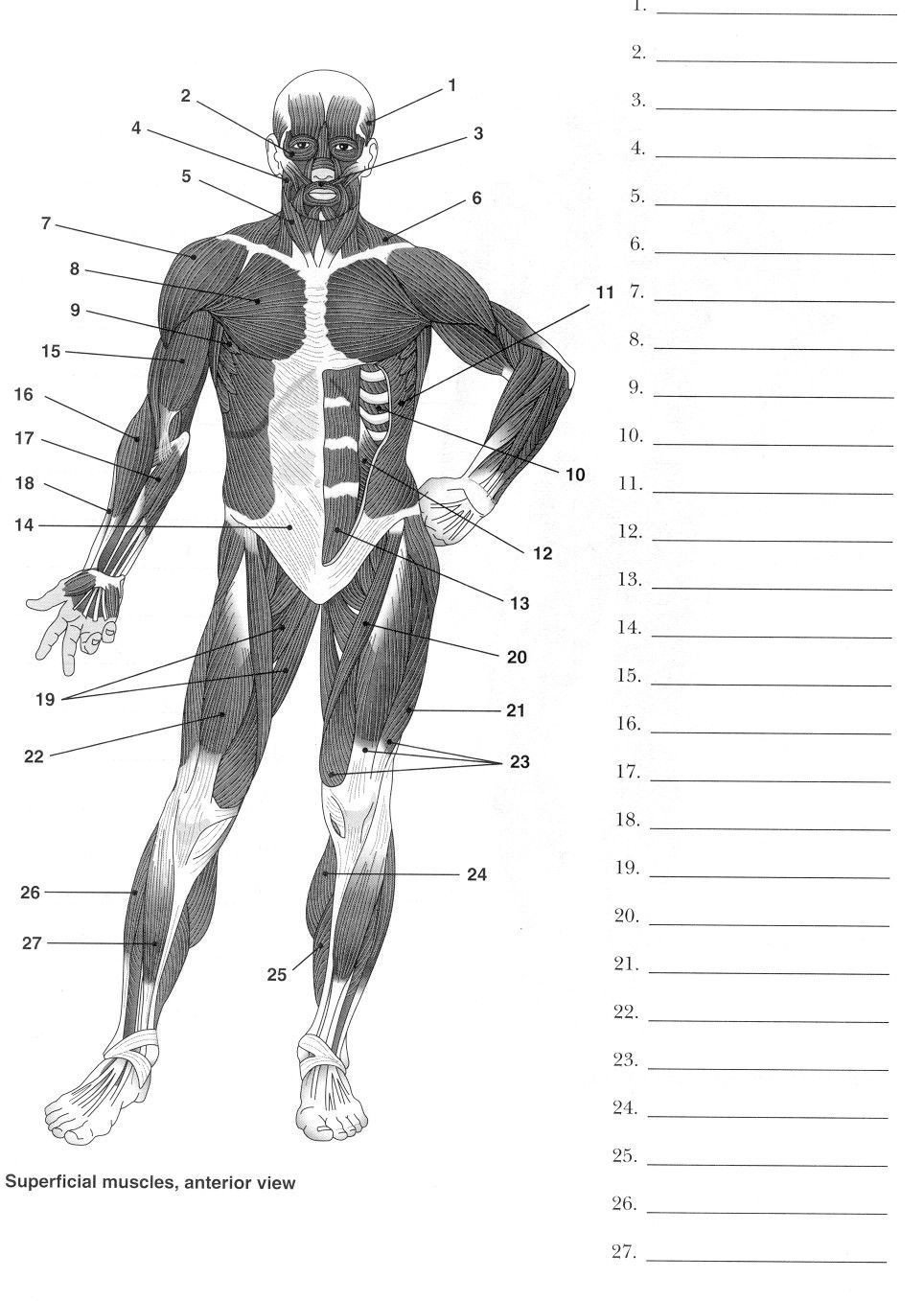 Human Anatomy Worksheets for College Label Muscles Worksheet