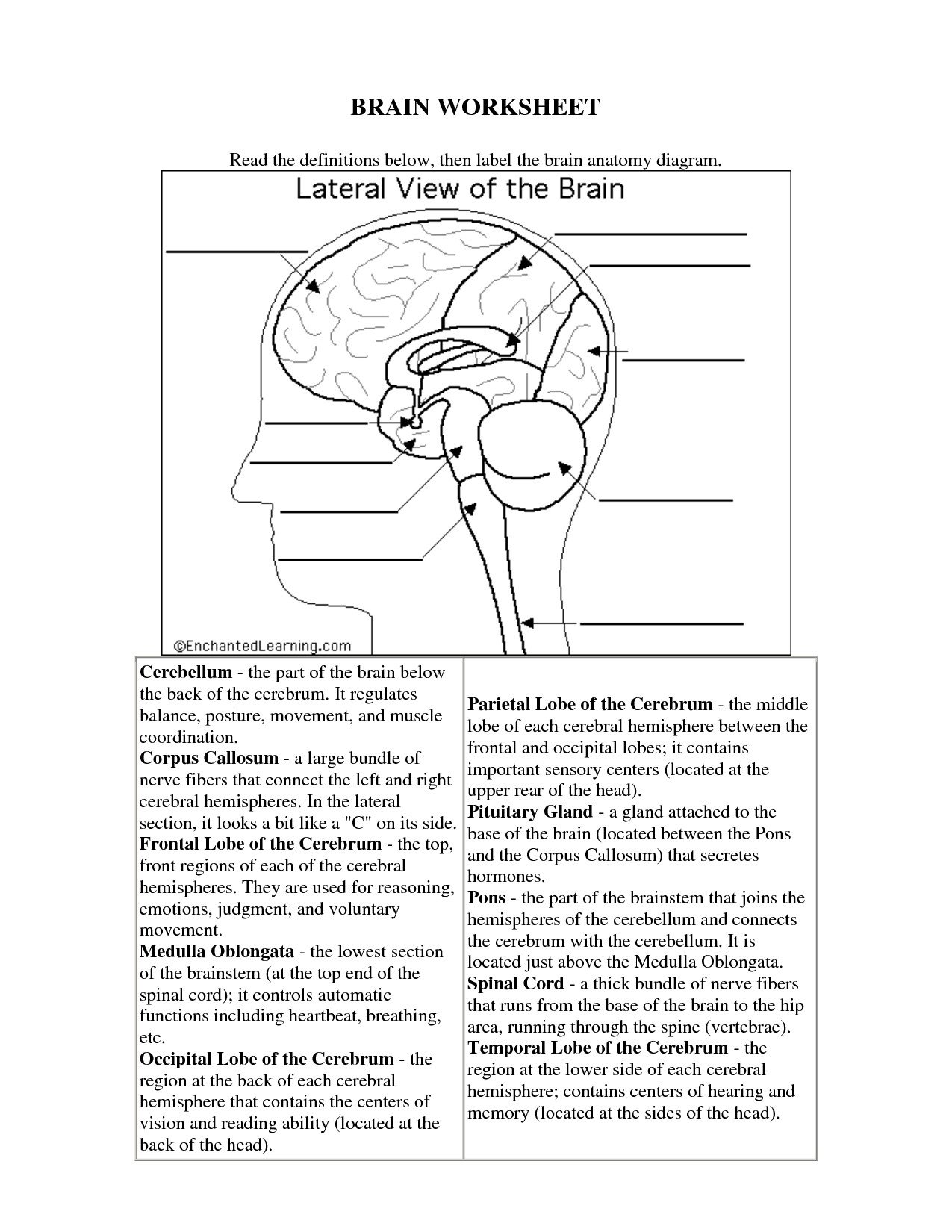 Printable Anatomy Labeling Worksheets Inspirational Brain Worksheet