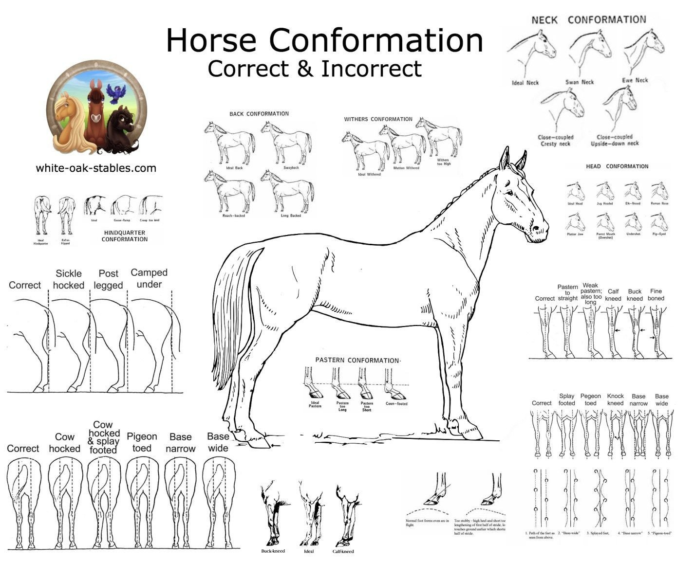 Printable Horse Anatomy Worksheets Equine Anatomy Worksheets