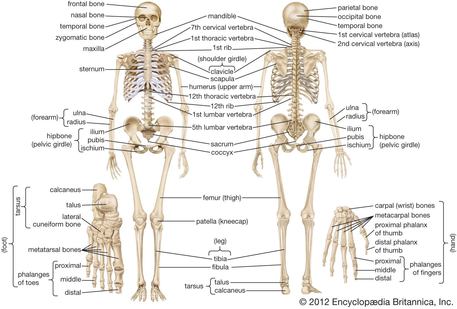 Anatomy and Physiology Labeling Worksheets Human Skeleton Parts Functions Diagram & Facts