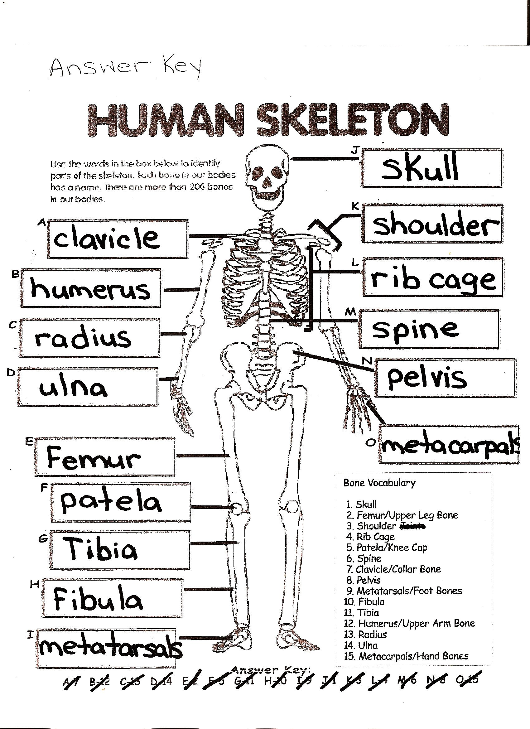 Blank Skeletal System Worksheet Dog Skeletal System Worksheet