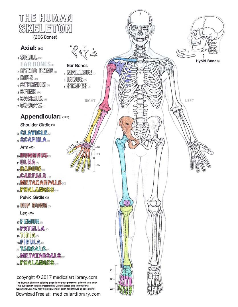 Blank Skeletal System Worksheet Human Skeleton Coloring Page Medical Art Library