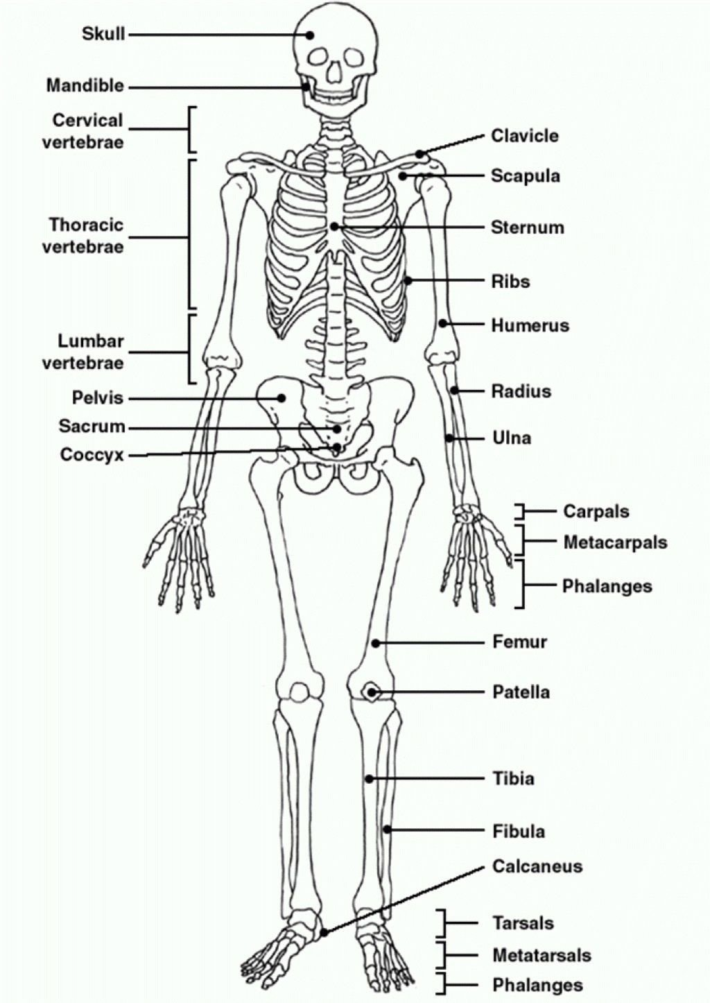 Blank Skeletal System Worksheet Human Skeleton Diagram Unlabeled Human Skeleton Diagram