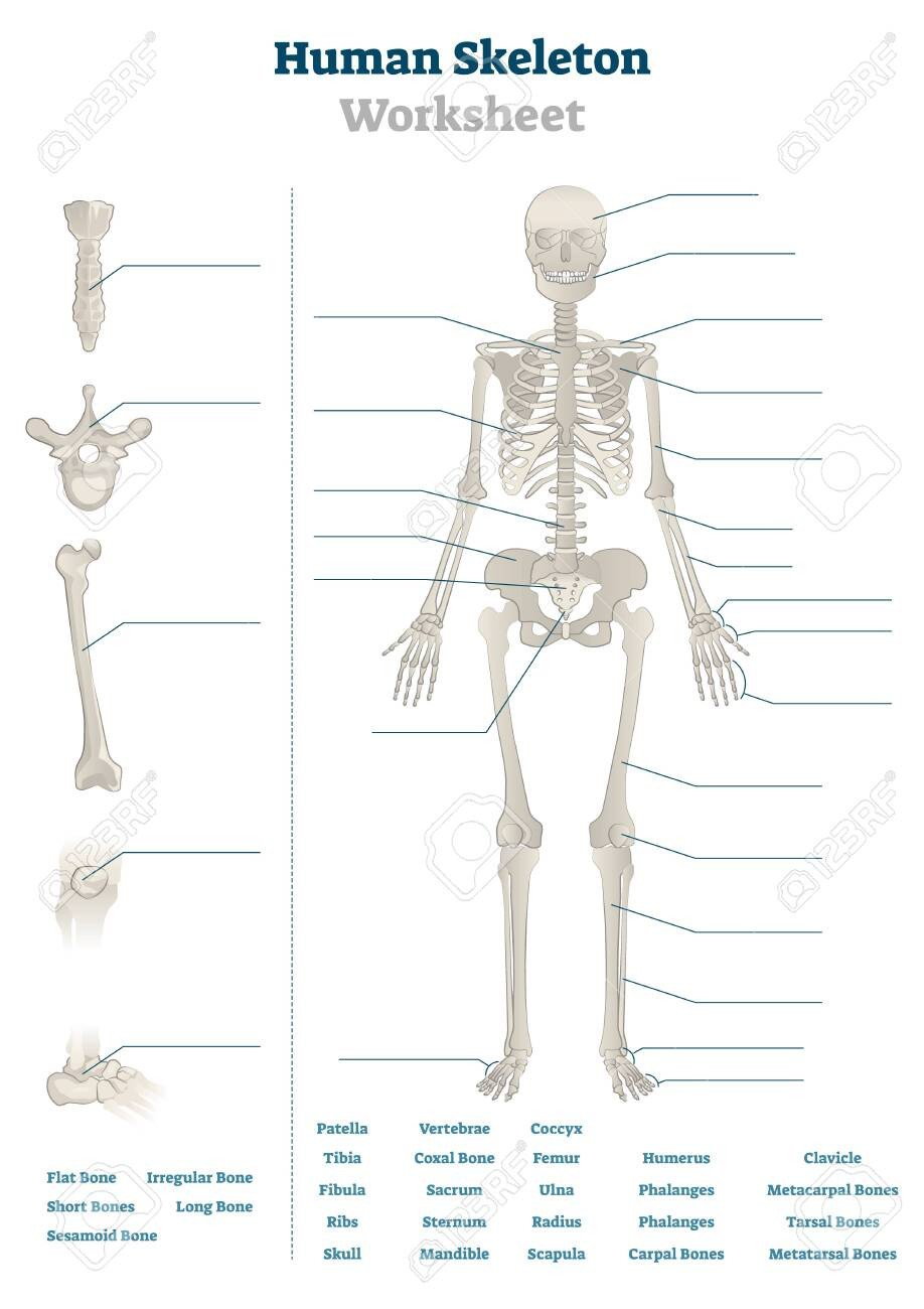 Blank Skeletal System Worksheet Human Skeleton Worksheet Vector Illustration Blank Educational