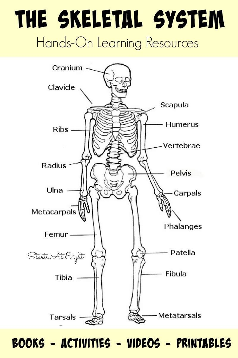 Blank Skeletal System Worksheet Image Result for Human Skeleton Printable Worksheet