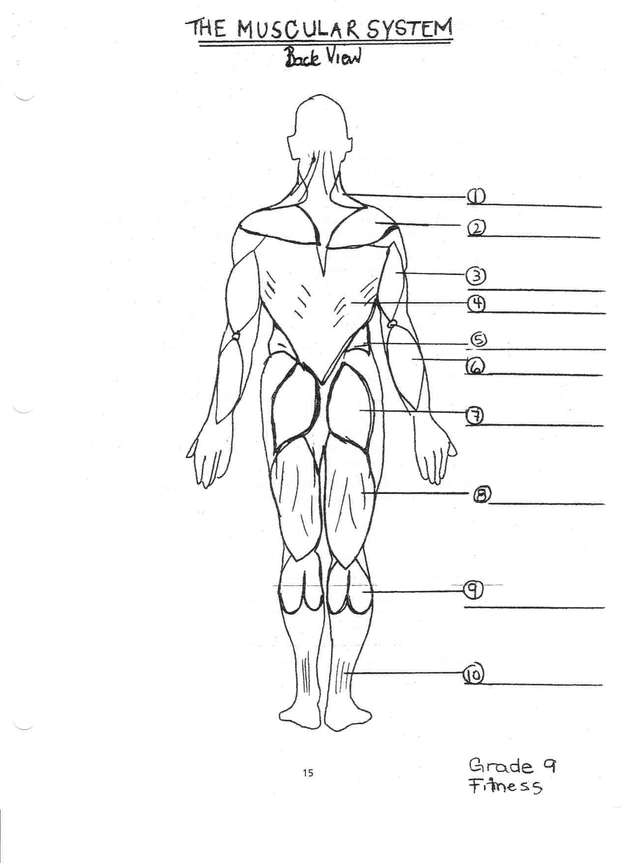 Blank Skeletal System Worksheet Skeletal System Anterior View Worksheet