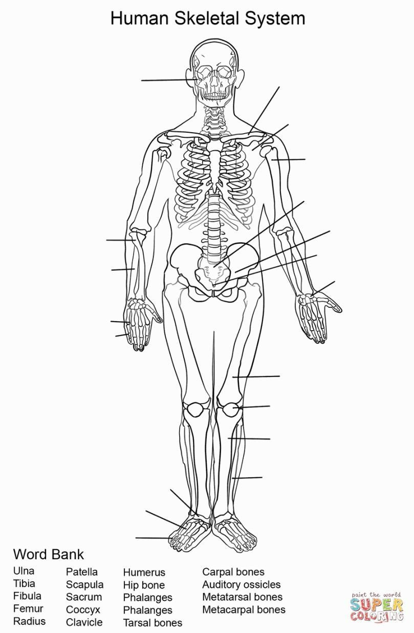 Blank Skeletal System Worksheet Skeletal System Coloring