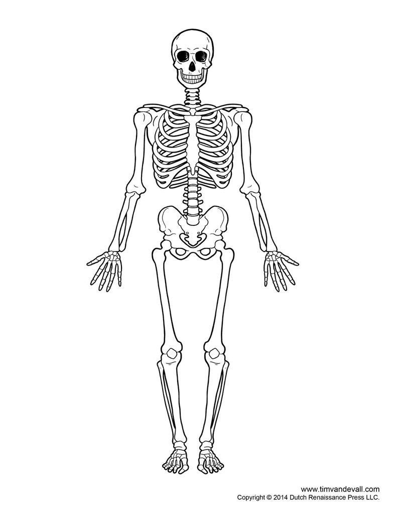 Blank Skeletal System Worksheet Skeletal System Outline Printable Human Skeleton Diagram