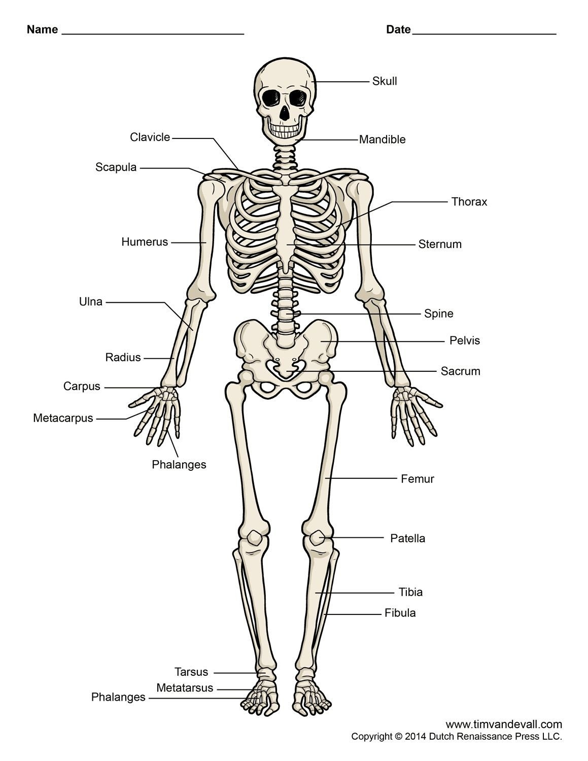 Blank Skeletal System Worksheet Skeletal System Worksheet Unlabeled
