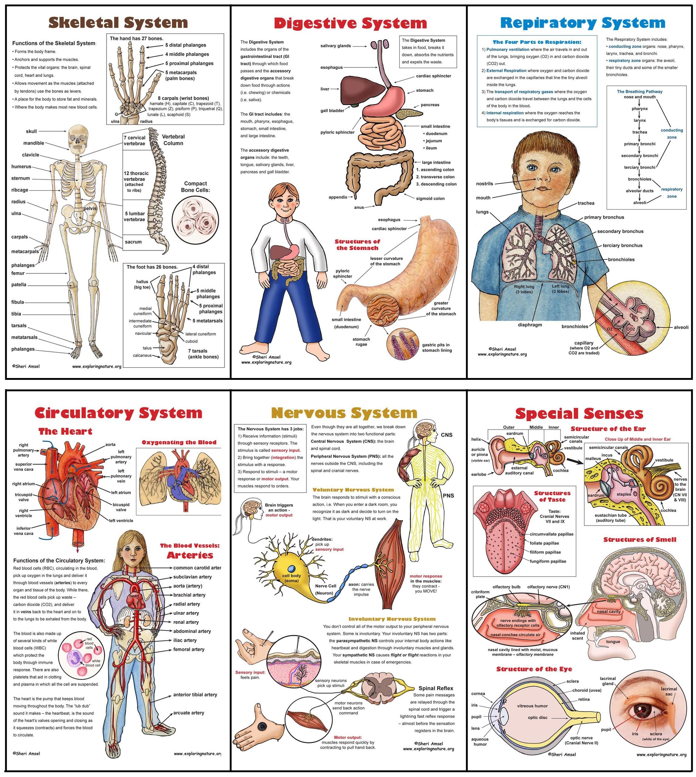 Free Human Body Systems Worksheets Body Systems Poster Set 6 Plus Worksheets