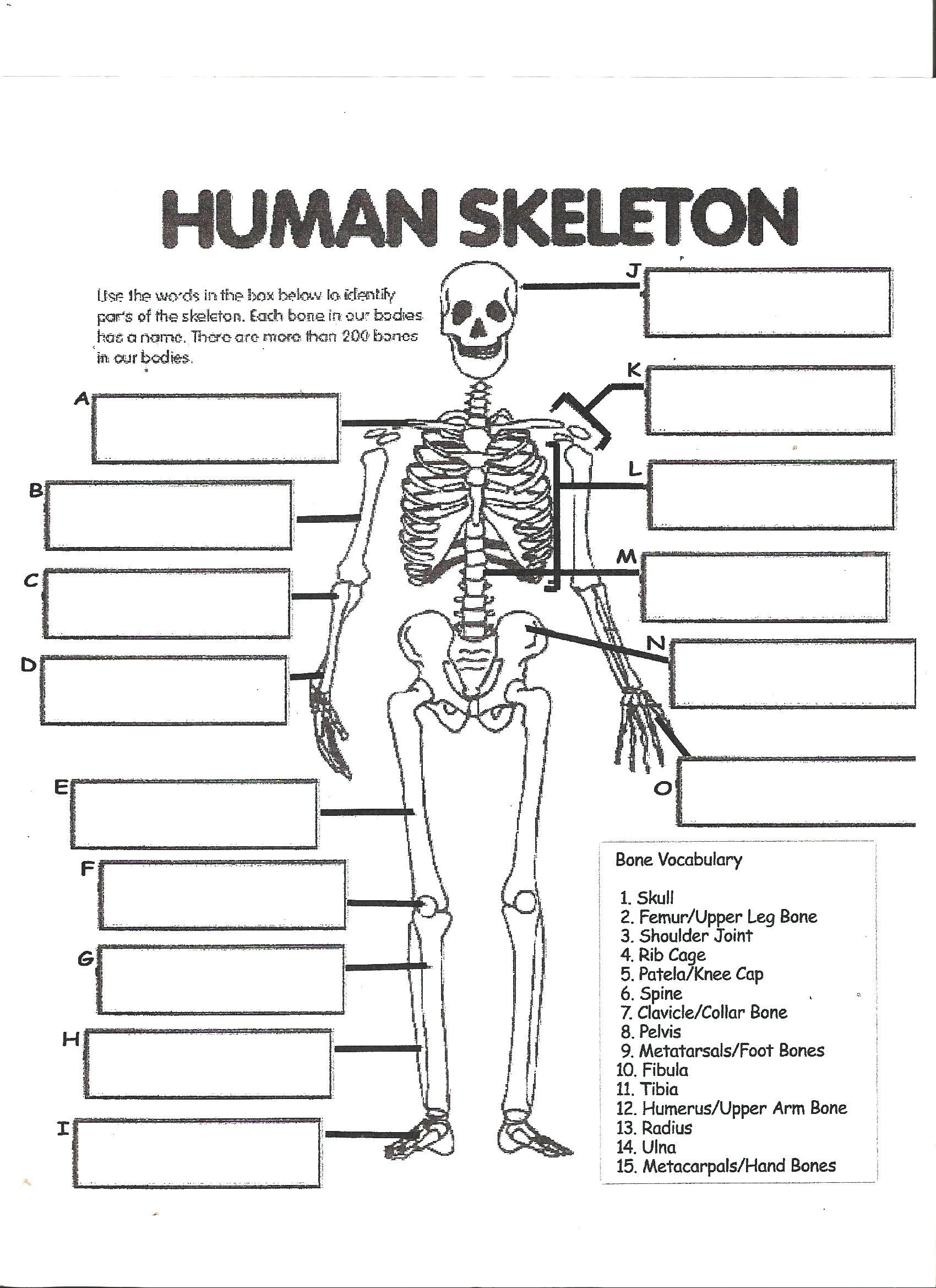 Free Human Body Systems Worksheets Digestive System Labeling Worksheet Answers Human Skeleton