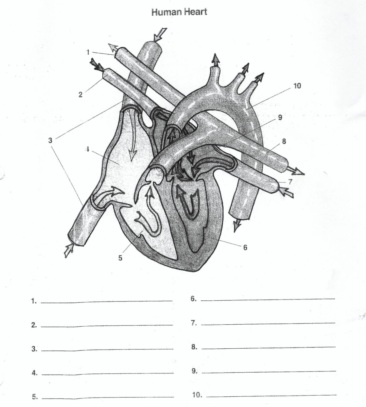 Heart Diagram Worksheet Blank Heart Diagram Blank Human Body Anatomy
