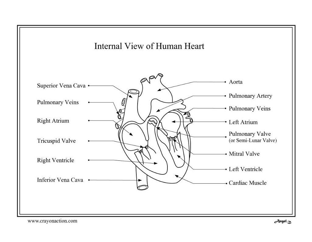 Heart Diagram Worksheet Blank Heart Diagram Coloring Page Lessons Worksheets and Activities