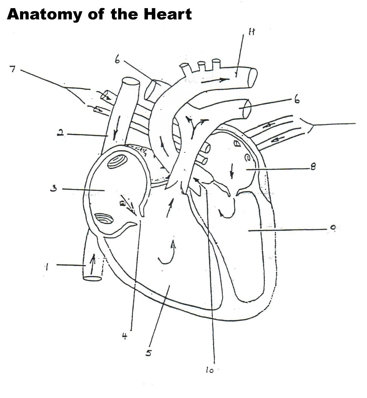 Heart Diagram Worksheet Blank Human Heart Worksheet Blank