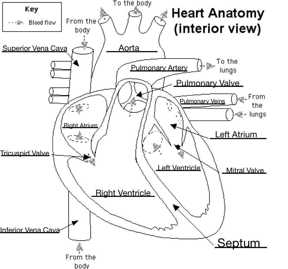 Heart Diagram Worksheet Blank Labeling Heart Diagram Human Anatomy