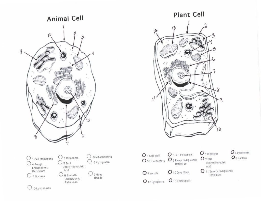 Animal Cell Blank Worksheet Blank Plant Cell Diagram Worksheet Fresh Plant and Animal